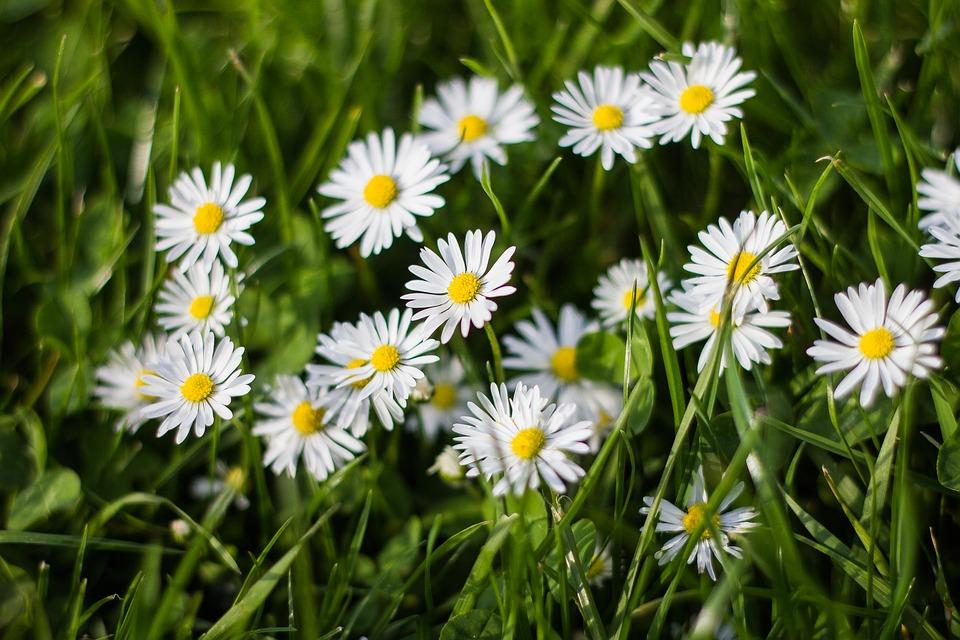 cvetki romashki